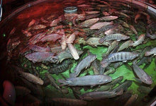 Aquaponic Fish Food - Aquaponic Warrior