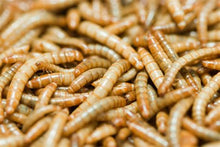 Live Small Mealworms 1 KG  5000-6000 Count - Aquaponic Warrior