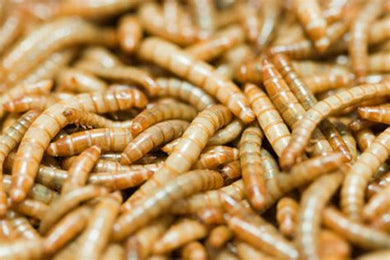 Live Mealworms-1KG (approx) 2000-4000 Count - Aquaponic Warrior