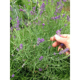 Facial Cleanser - Lavender Fields - Alpenglow Skin Care