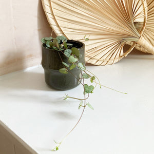 Collection Only - Ceropegia Woodii String Of Hearts