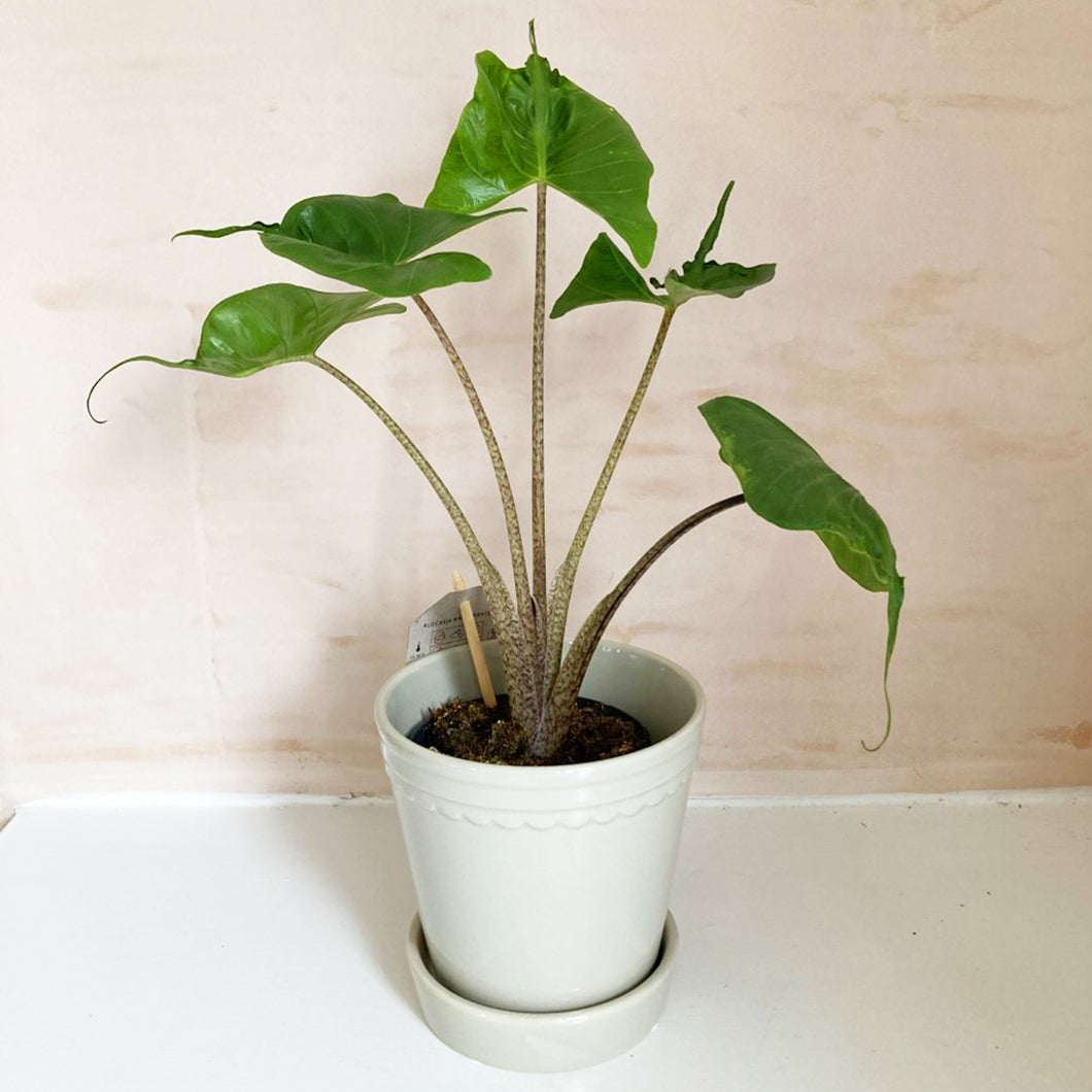 Collection Only - Alocasia Stingray