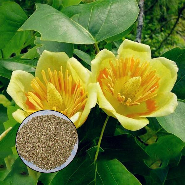 Egrow 50Pcs/Bag Magnoliaceae Flower Seeds Ornamental Plant Liriodendron Chinense Bonsai Seeds