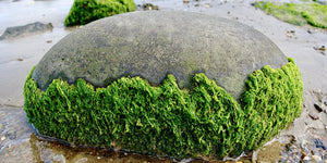 algae on a rock
