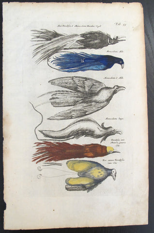 17th Century Italian Vintage book page, Birds, Colored Steel Engraving