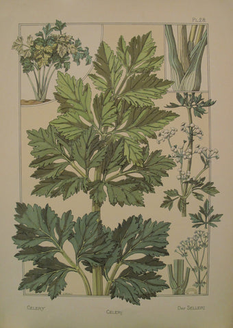 1896 French Decorator Pochoir - Celery (plate 28)