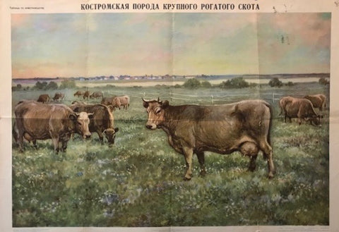 1957 Original Russian Animal Husbandry Poster, Cow Breeds (Kalmyk)