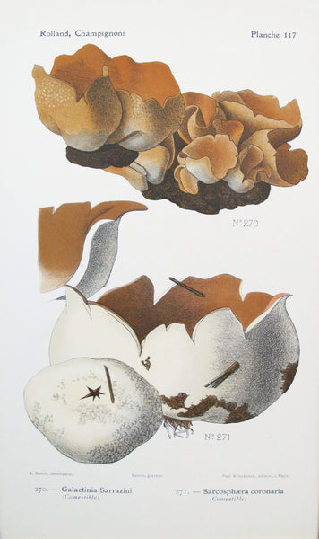 1910 French Mushroom Botanical Plate, Galactinia Sarrazini and Sarcosphaera coronaria