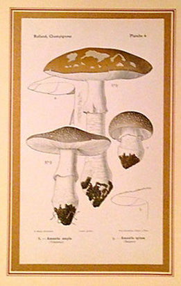 1890 French Art Nouveau Champignon (Mushroom) Lithograph, Amanita ampla and Amanita spissa