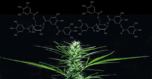 Newly Discovered Cannabinoids THCP And CBDP