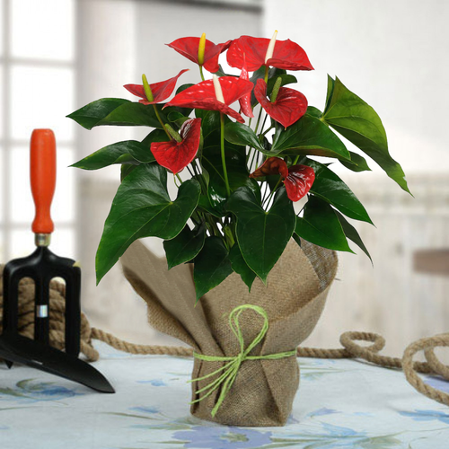 Paudhahouse Anthurium Red Plant