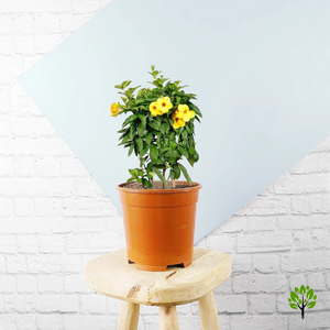 PaudhaHouse Allamanda Yellow Flower Plant With Pot