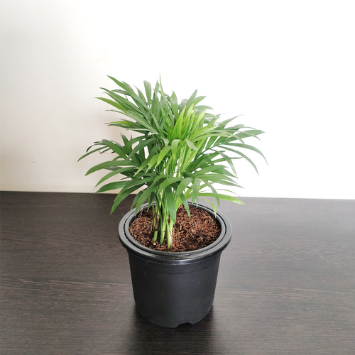 PaudhaHouse Bamboo Palm With Grower Pot