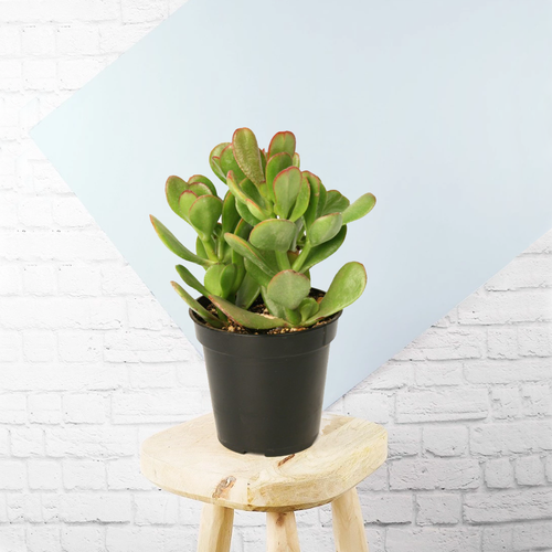 PaudhaHouse Crassula Ovata Succulent With Pot