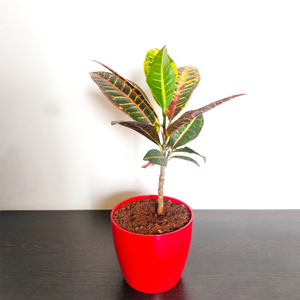 PaudhaHouse Croton With Red Plastic Pot
