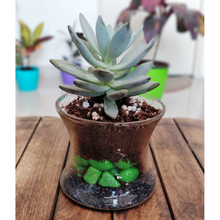 Load image into Gallery viewer, Eheveria Laui Succulent Glass Decor