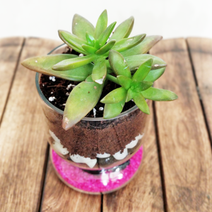 Eheveria Succulent Glass Decor