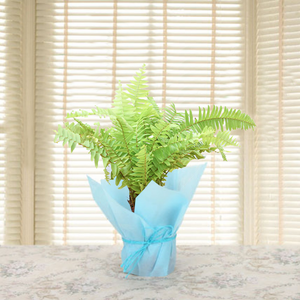 Paudhahouse Golden Fern Plant