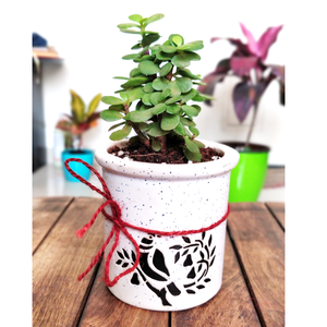 Jade Succulent in Ceramic Pot