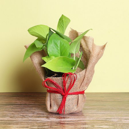 PaudhaHouse Money Plant