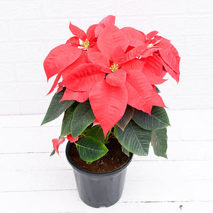 PaudhaHouse Poinsettia Red Plant With Grower Pot