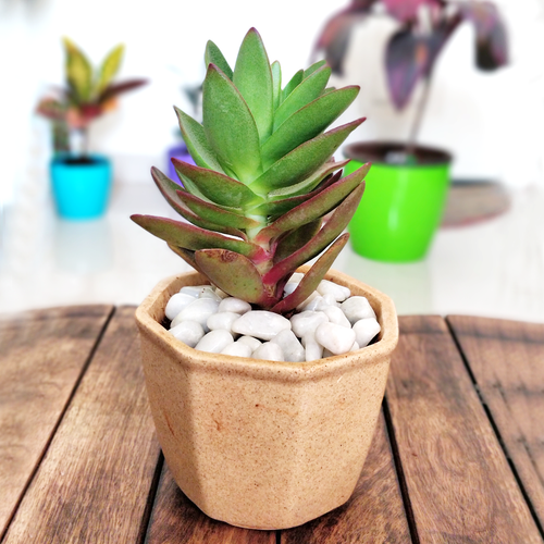 Red Pagoda Succulent in Ceramic Pot