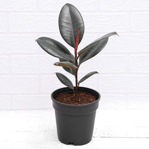 PaudhaHouse Rubber Plant With Grower Pot