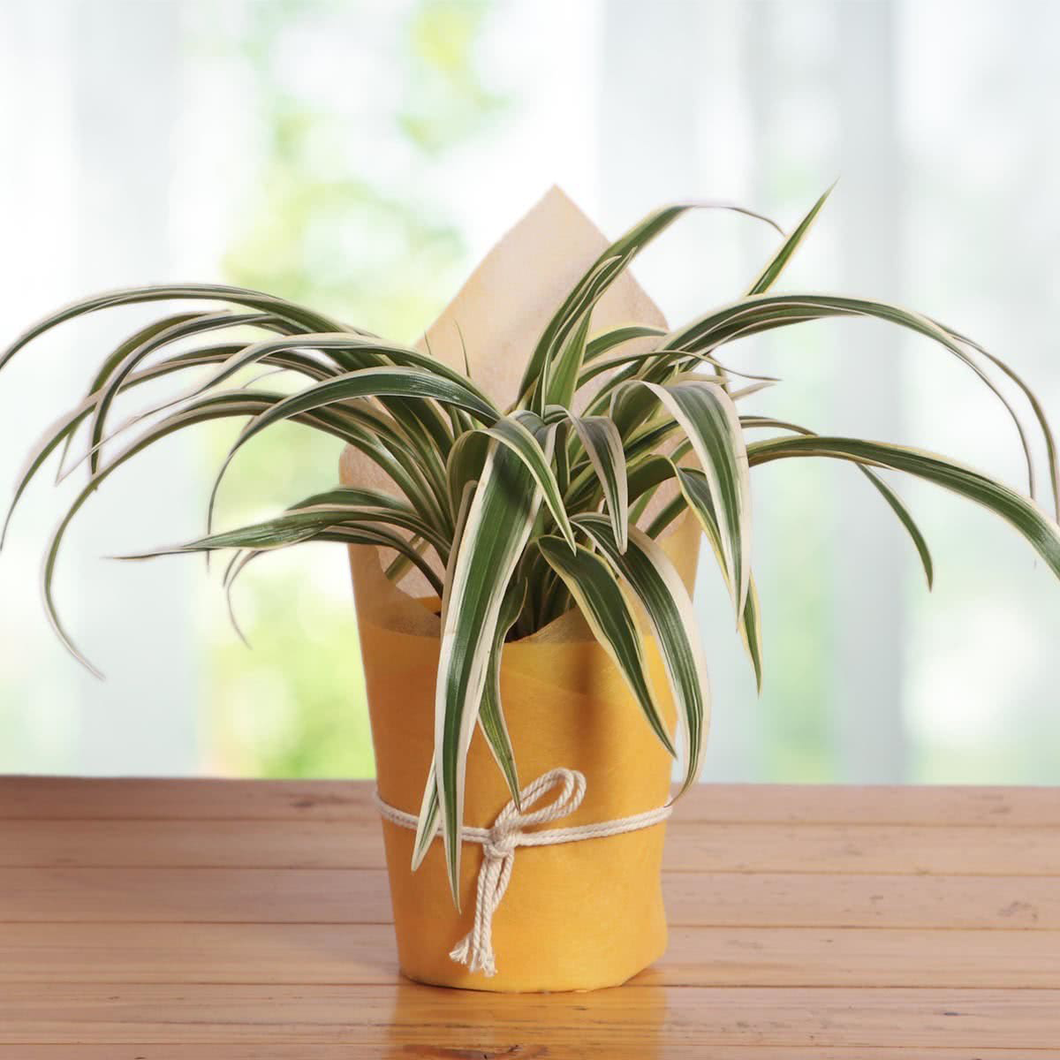 PaudhaHouse Spider Plant