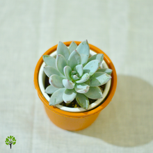 Load image into Gallery viewer, PaudhaHouse Echeveria Laui Succulent