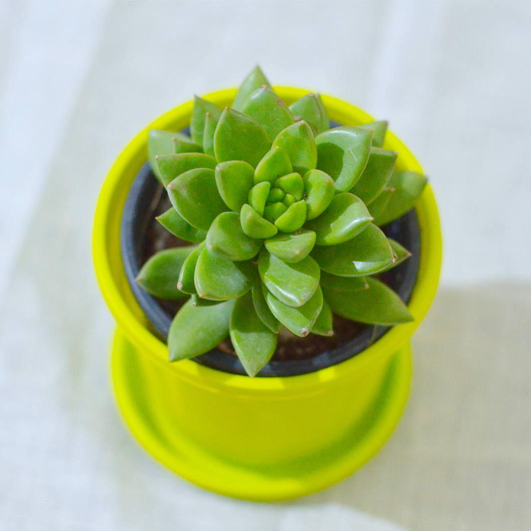 PaudhaHouse Molded Wax  Succulent With Yellow Grower Pot