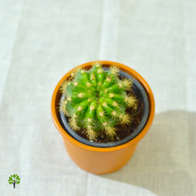 Load image into Gallery viewer, PaudhaHouse Variegated Echinopsis Cactus With Grower Pot