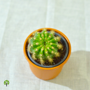 PaudhaHouse Variegated Echinopsis Cactus With Grower Pot