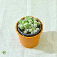 Load image into Gallery viewer, PaudhaHouse Mammillaria Cactus With Grower Pot