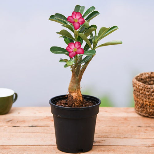 PaudhaHouse Adenium Plant With Grower Pot