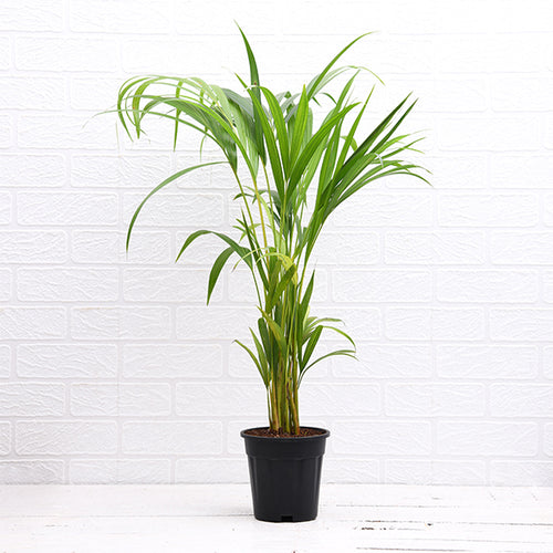 PaudhaHouse Areca Palm With Grower Pot