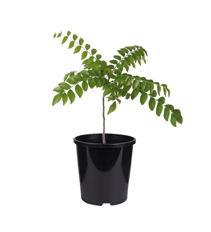 PaudhaHouse Curry Leaves Plant With Grower Pot