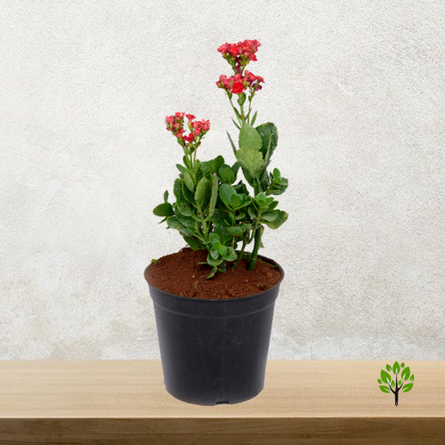 PaudhaHouse Kalanchoe Red Plant