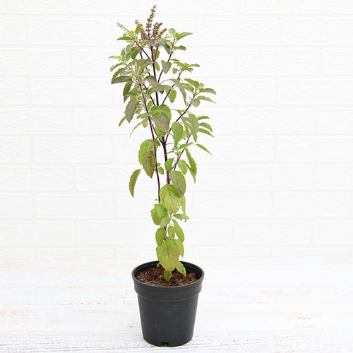 PaudhaHouse Krishna Tulsi Plant With Grower Pot