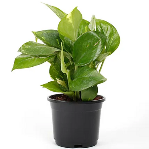 PaudhaHouse Money Plant Green With Grower Pot