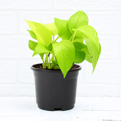 PaudhaHouse Money Plant Golden With Grower Pot