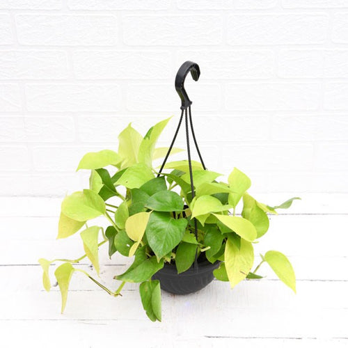 PaudhaHouse Money Plant Golden With Hanging Basket