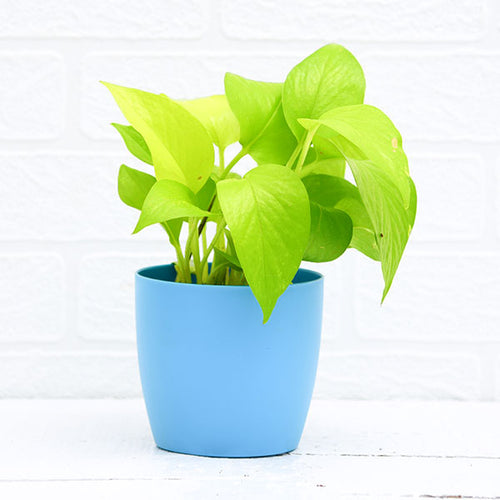 PaudhaHouse Money Plant Golden With Blue Planter