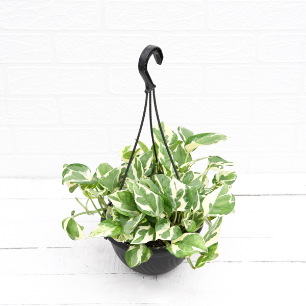 PaudhaHouse Money Plant Marble Prince With Hanging Basket