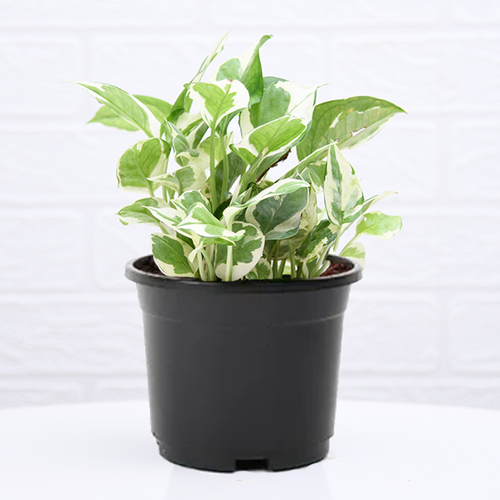 PaudhaHouse Money Plant Marble Prince With Grower Pot