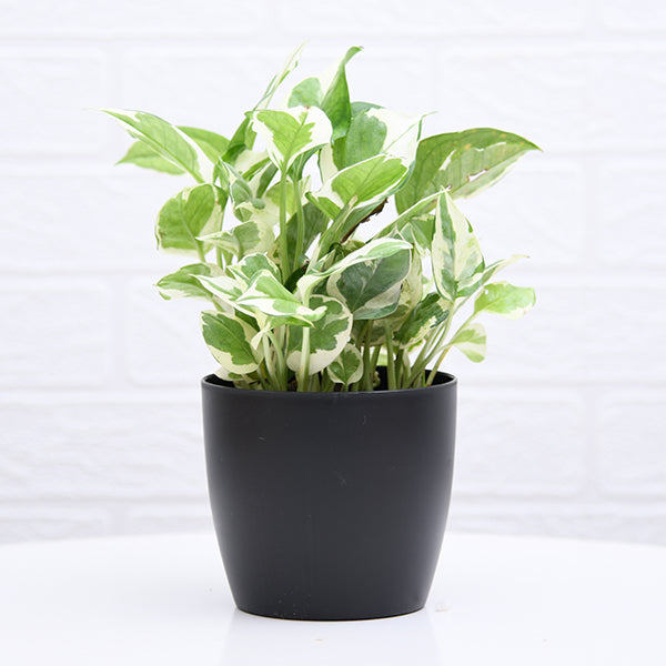 PaudhaHouse Money Plant Marble Prince With Black Planter