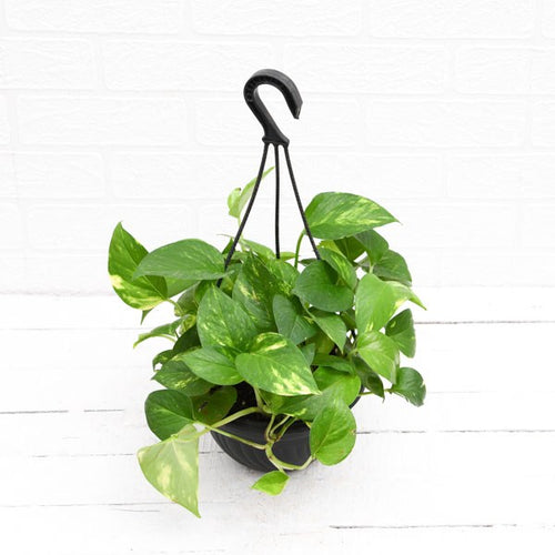 PaudhaHouse Money Plant Green With Hanging Basket
