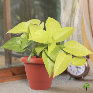 Paudhahouse Golden Money Plant With Pot