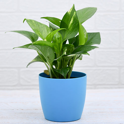 PaudhaHouse Money Plant Green With Blue Planter