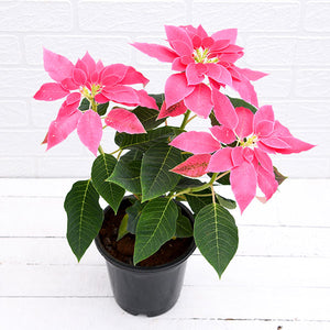 PaudhaHouse Poinsettia Pink Plant With Grower Pot