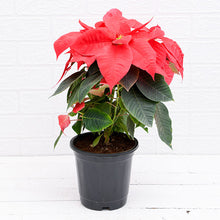 Load image into Gallery viewer, PaudhaHouse Poinsettia Red Plant With Grower Pot